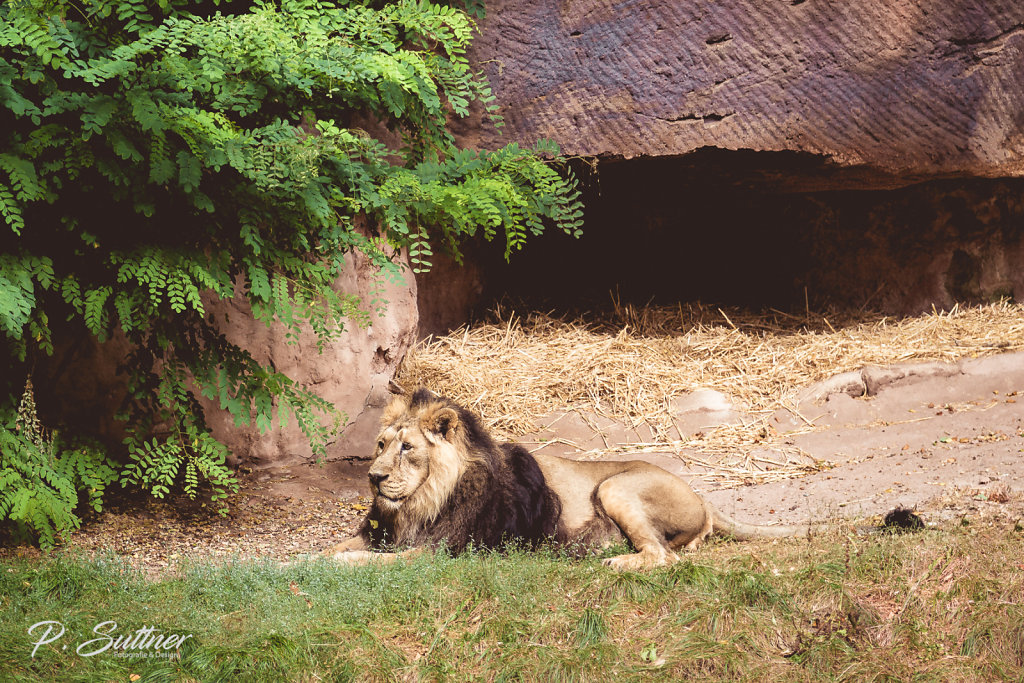 In the Jungle the Lion Sleeps Tonight...